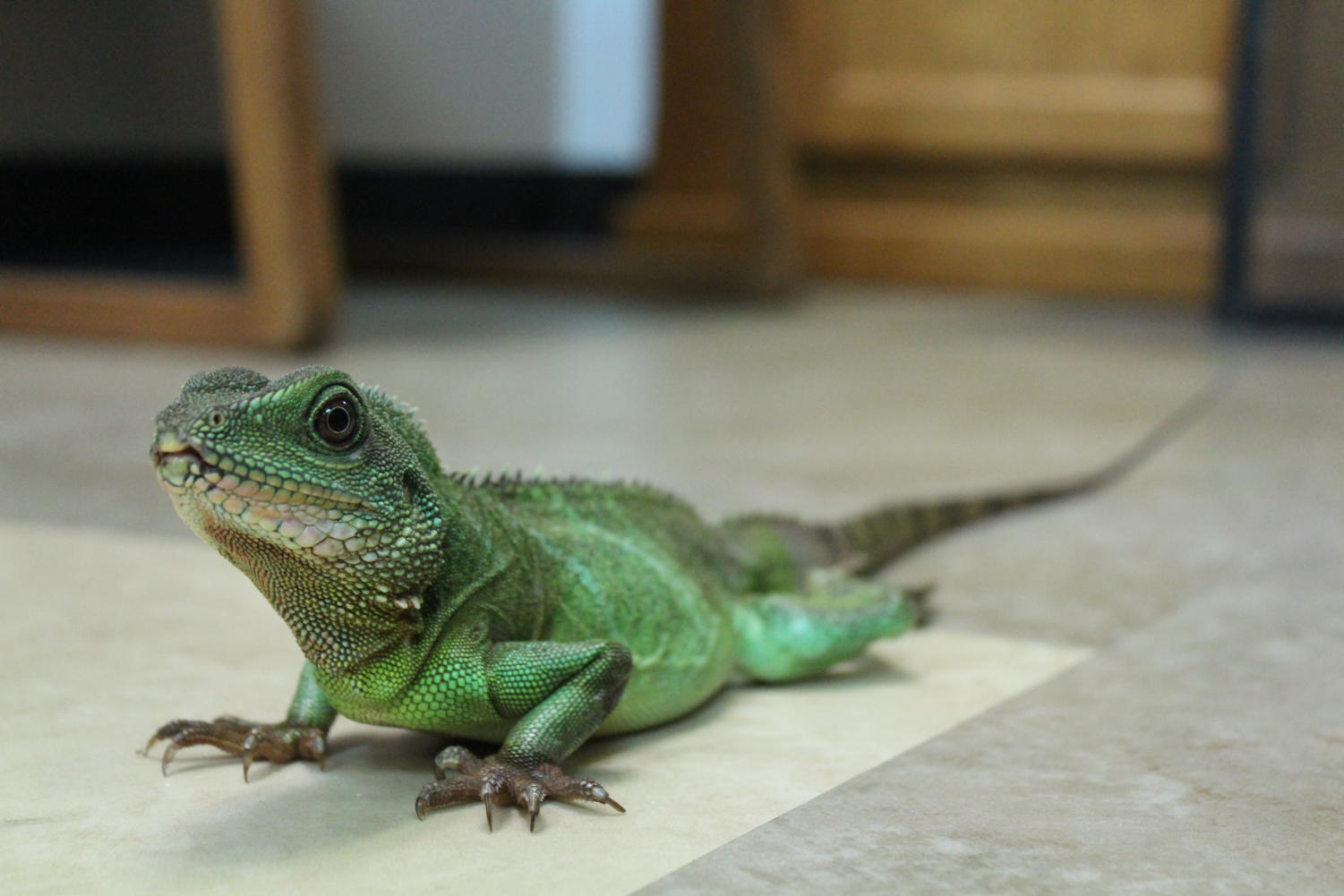 You can de-stress with this calming therapy lizard in Room 400B. Photo by Connor Callahan